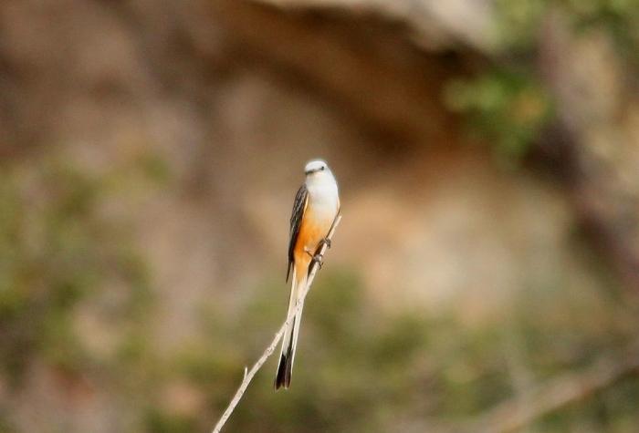 Scissor-tailed Flycatcher (170) (1024x696)