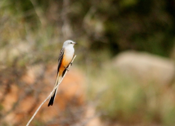 Scissor-tailed Flycatcher (171) (1024x739)