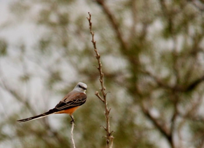 Scissor-tailed Flycatcher (173) (1024x745)