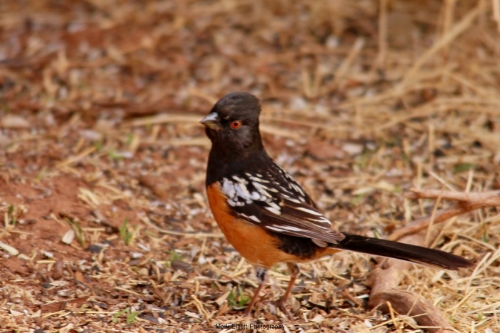 Spotted-Towhee-5-1024x684