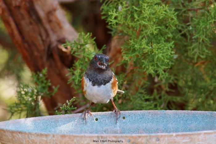 Spotted-towhee-7-1024x684