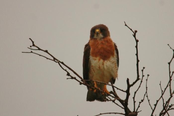 Swainson's Hawk (1024x684)