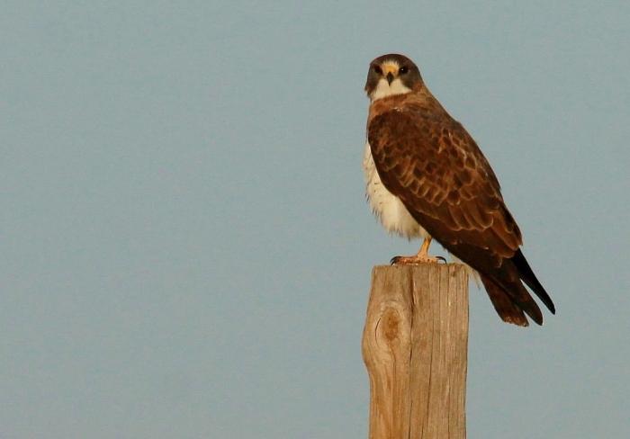 Swainson's Hawk (13) (1024x714)