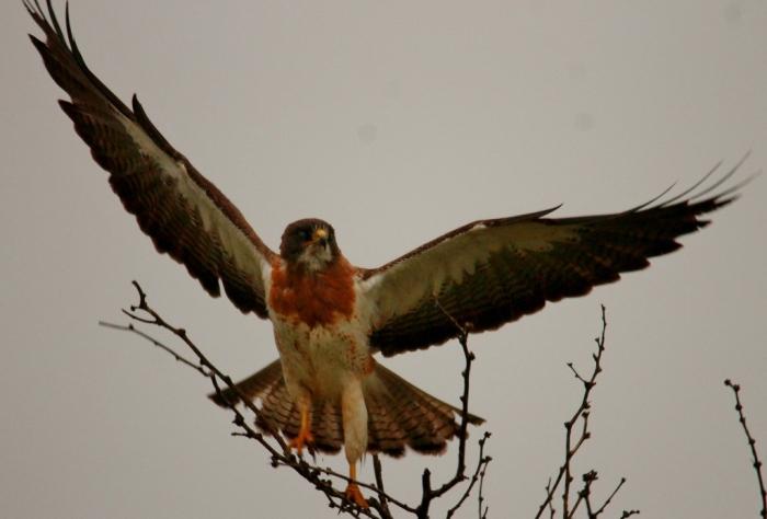 Swainson's Hawk (3) (1024x694)