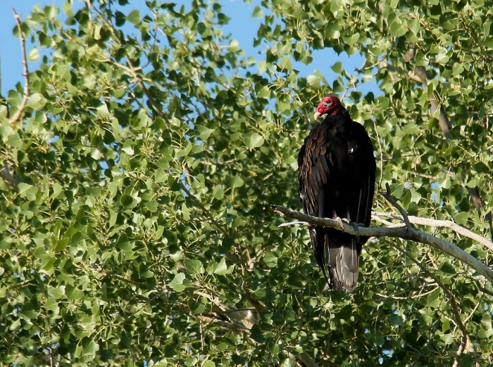 Turkey Vulture (5) (1024x764)