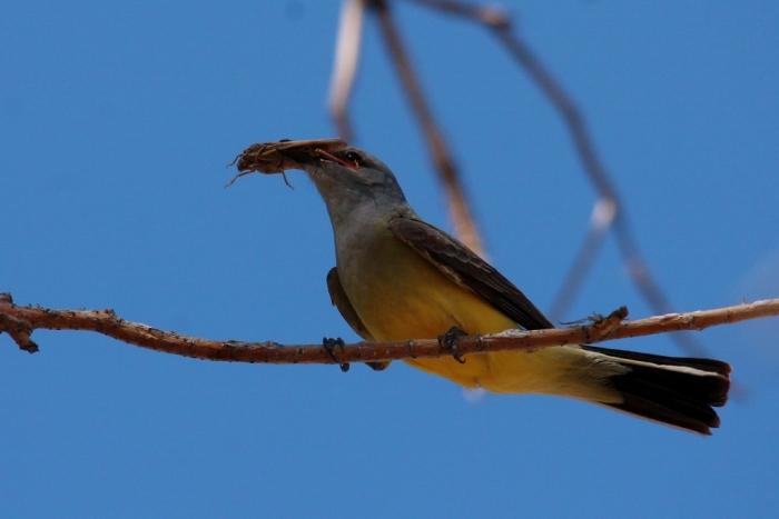 Western Kingbird (74) (1024x684)