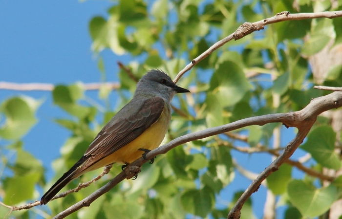 Western Kingbird (77) (1024x656)