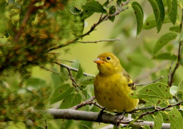 Western Tanager (4) (1024x722)