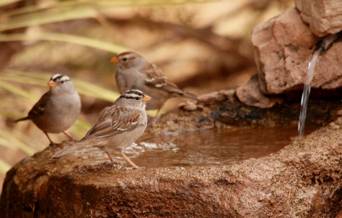 White-crowned-Sparrow-60-1024x654
