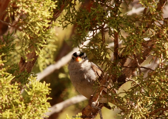 White-Crowned-Sparrow-61-1024x727