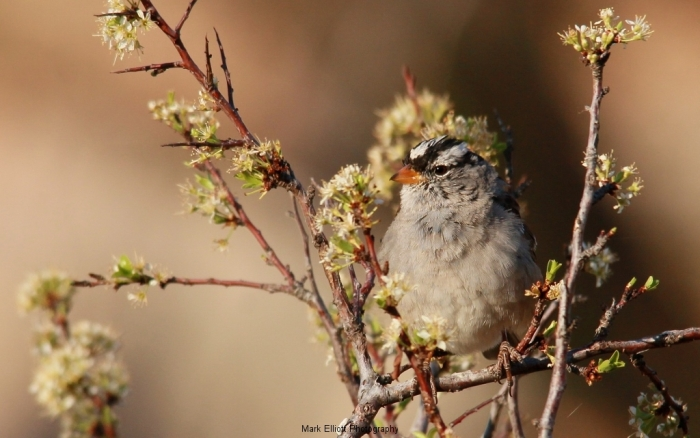White-crowned-Sparrow-65-1024x641