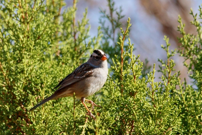 White-crowned Sparrow (67) (1024x684)