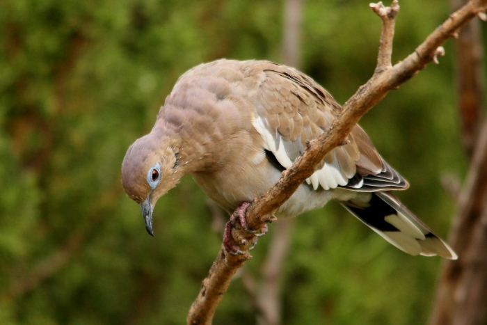 White-winged dove (4) (1024x684)