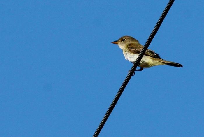 Willow Flycatcher (2) (1024x690)