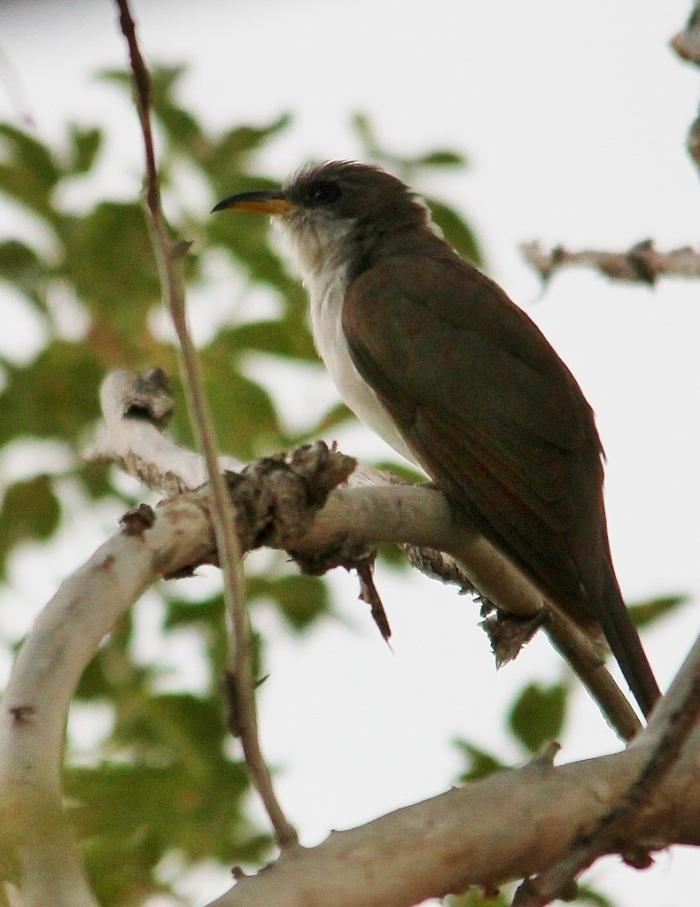 Yellow-billed Cuckoo (23) (790x1024)