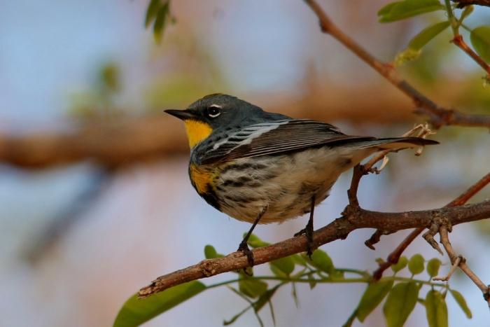 Yellow-rumped Warbler (Audubon's) (1024x684)