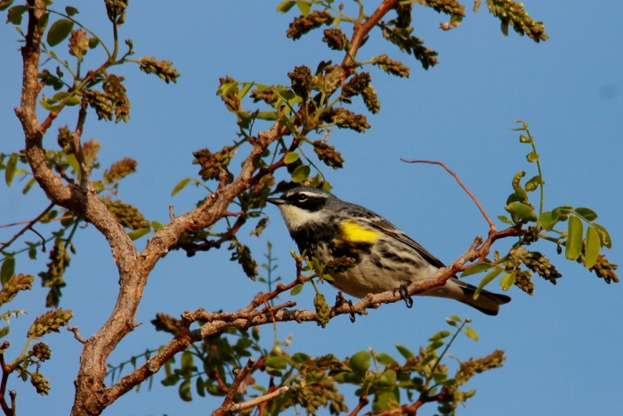 Yellow-rumped Warbler (Myrtle) (3) (1024x684)