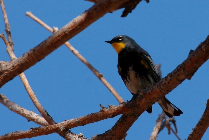 Yellow-rumped Warbler(Audubon's) (3) (1024x687)