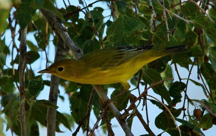 Yellow Warbler (12) (1024x648)