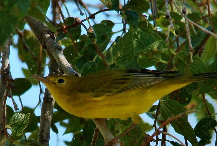 Yellow Warbler (17) (1024x688)