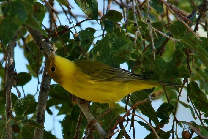 Yellow Warbler (21) (1024x686)