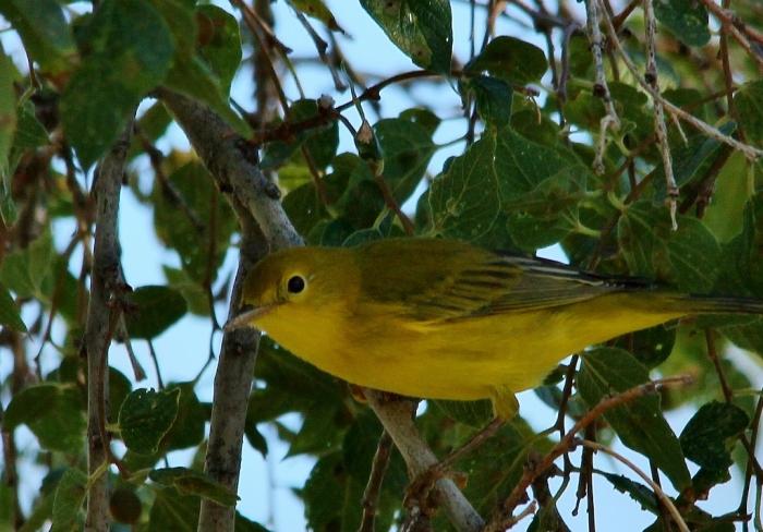 Yellow Warbler (23) (1024x715)