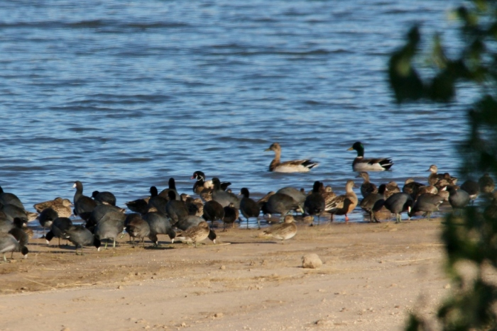 American Coot, Wood Duck, Mallard, Blue-winged Teal (1024x684)