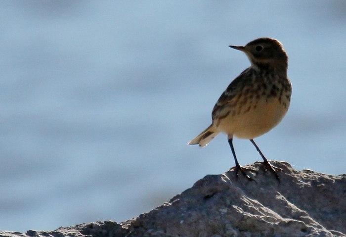 American Pipit (1024x701)