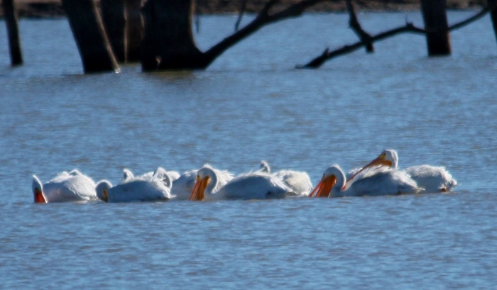 American White Pelican (2) (1024x599)