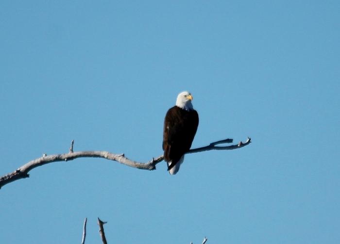 Bald Eagle (36) (1024x737)