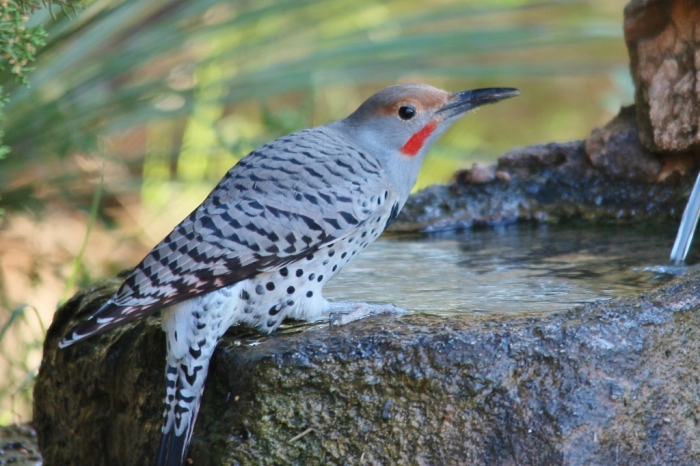 Northern Flicker (Red-shafted) (10) (1024x683)