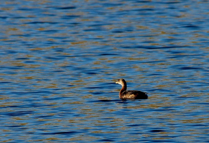 Pied-billed Grebe (3) (1024x699)