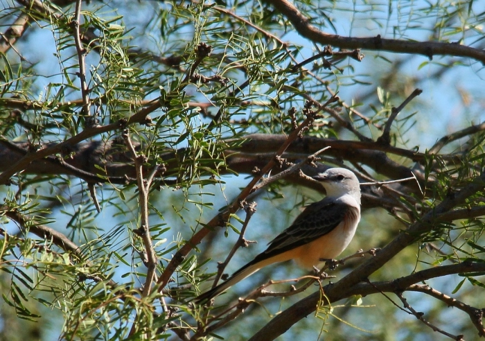 Scissor-tailed Flycatcher (178) (1024x721)