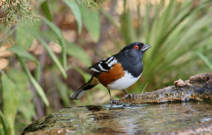 Spotted Towhee (12) (1024x651)