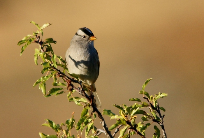 White-crowned Sparrow (69) (1024x694)