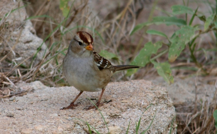 White-crowned Sparrow (75) (1024x633)