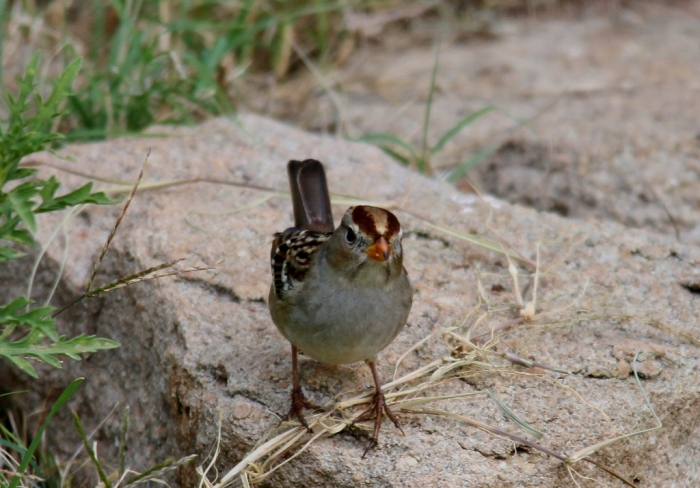 White-crowned Sparrow (83) (1024x715)