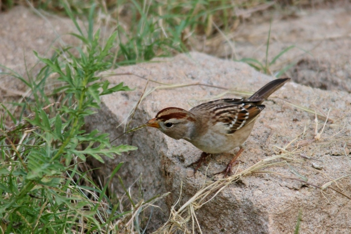 White-crowned Sparrow (86) (1024x684)