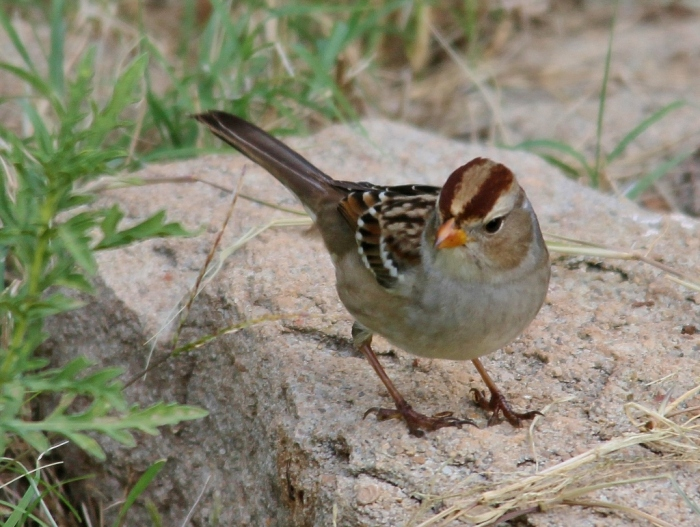 White-crowned Sparrow (90) (1024x771)