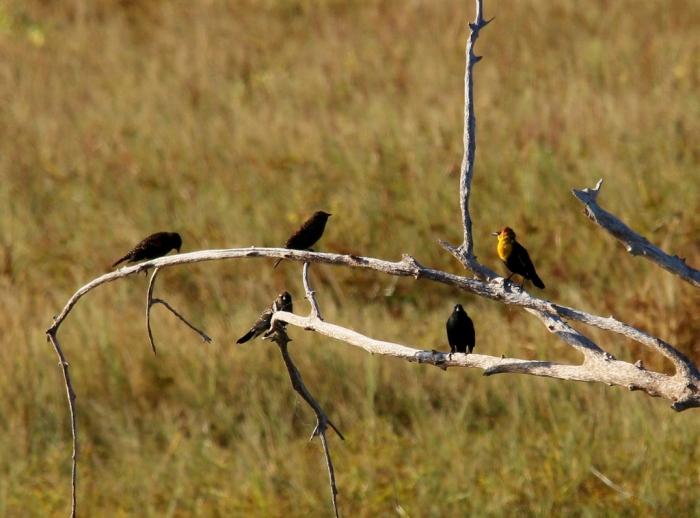 Yellow-headed Blackbird, Red-winged Blackbird (12) (1024x758)