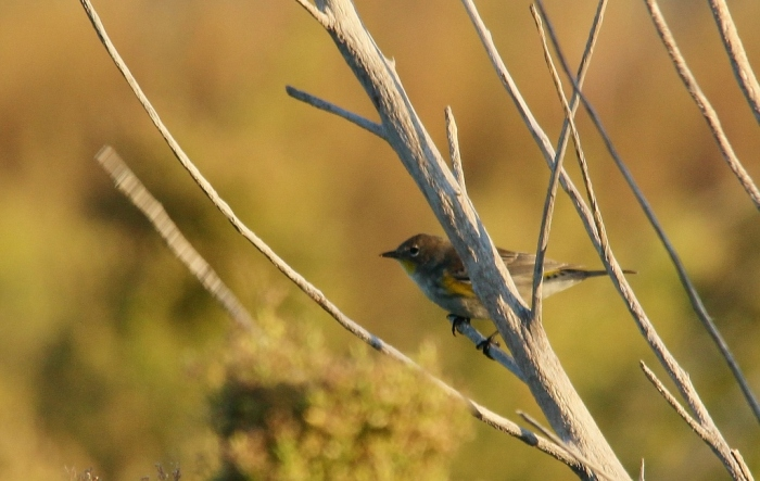Yellow-rumped Warbler (Audubon's) (3) (1024x649)