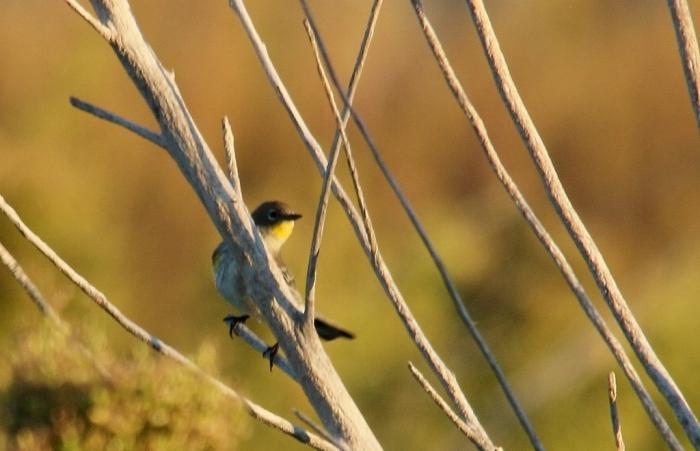 Yellow-rumped Warbler(Audubon's) (6) (1024x660)