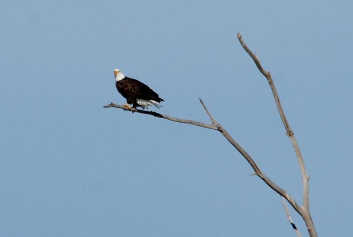 Bald Eagle (39) (1024x689)