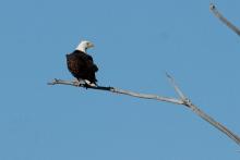 Bald Eagle (42) (1024x686)
