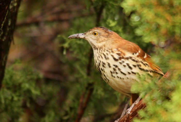 Brown Thrasher (12) (1024x690)