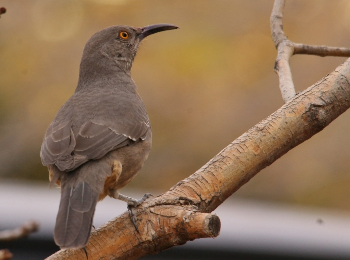 Curve-billed Thrasher (60) (1024x762)