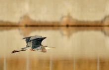 Great Blue Heron (155) (1024x663)