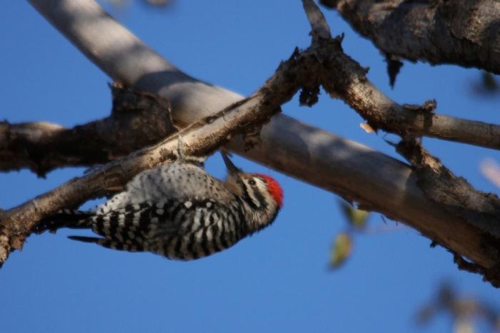 Ladder-backed Woodpecker (170) (1024x684)