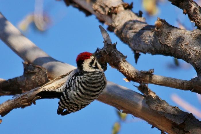 Ladder-backed Woodpecker (172) (1024x684)