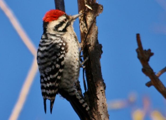 Ladder-backed Woodpecker (176) (1024x742)